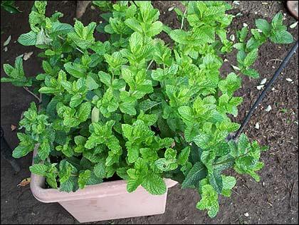 Plantas ahuyenta insectos - Plantas para ahuyentar insectos ...