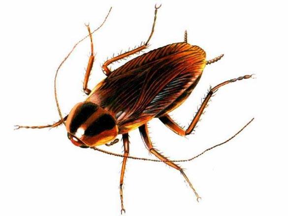Plaga de cucarachas en casa