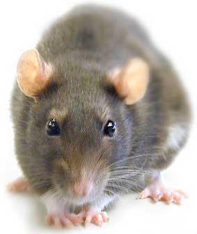Como eliminar a los habitantes más indeseados. Las ratas.