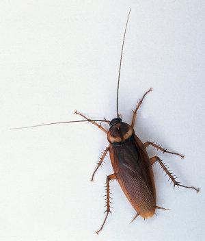 Remedios caseros para combatir las cucarachas