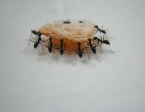 Como eliminar hormigas definitivamente